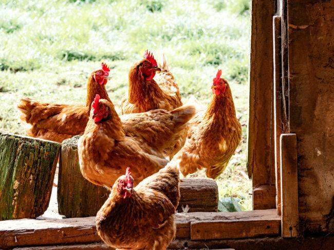 Pilgrim's Pride Makes Plea Deal in Chicken Industry Price-Fixing Investigation