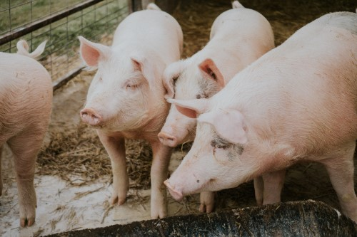 Pricing Trends: Hog Tariffs, Disease, and Production are all Up, but Demand Keeps Prices Steady